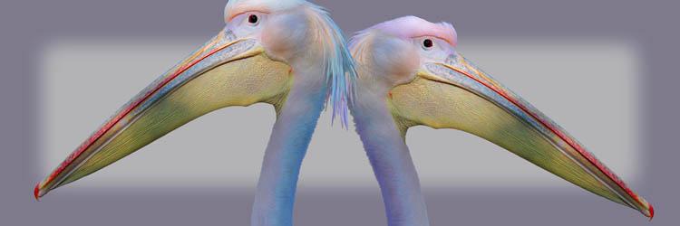 compu-art - pelikaan - vrolijke schilderijen
